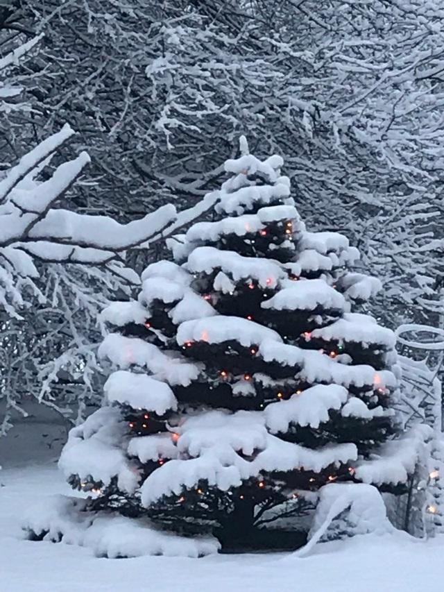 Blue spruce 01-01-2019